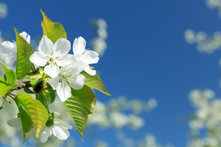 spring time: Cherry blossoms Stock Photo