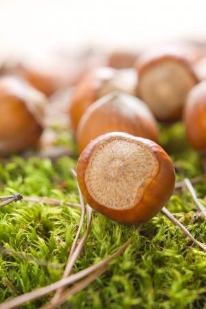 unbroken: Hazelnuts (filbert) on the moss