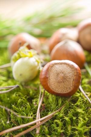 filbert: Hazelnuts (filbert) on the moss