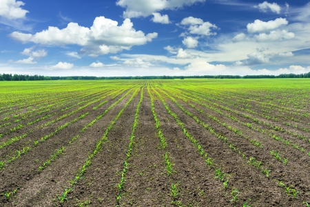 maize cultivation: Corn field