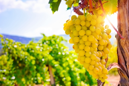 bunch of grapes: Vineyard Stock Photo