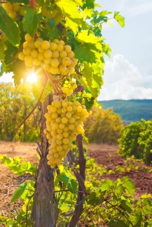 vine leaves: Vineyard Stock Photo