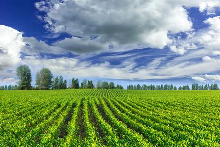 corn rows: Corn field