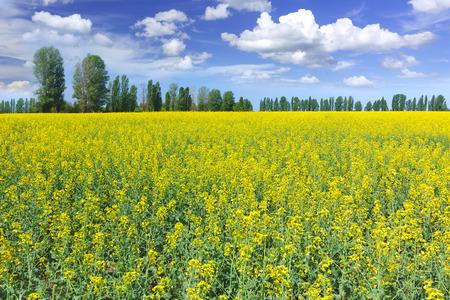 rappi: Rapeseed field Stock Photo