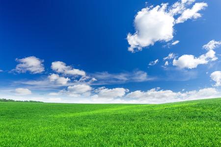wheatfield: Green field