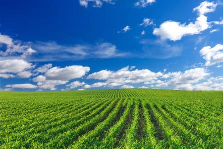 Campo de maíz Foto de archivo - 29353772