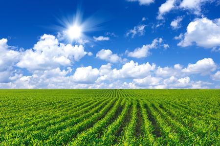 Campo de maíz Foto de archivo - 29353775
