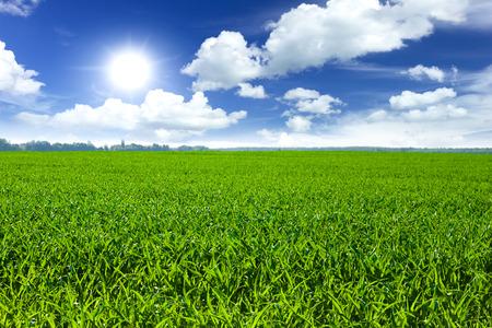 wheatfield: Wheat field