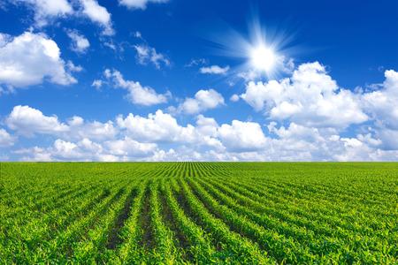 옥수수 밭 스톡 콘텐츠