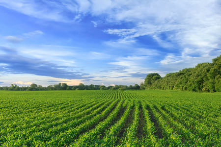 the row: Corn field