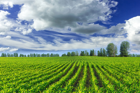 Corn field Stock Photo - 39792996