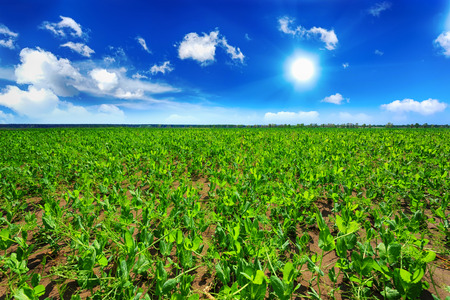 agricultural crops: Pea field