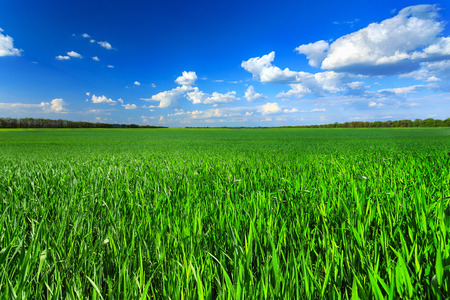 blue sky and fields: Green field
