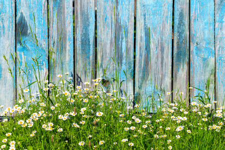 duckboards: Daisy flowers on a background of wooden fence Stock Photo