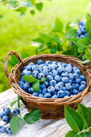 Blueberry. Fresh berries with leaves on branch in a garden. Harvesting blueberry
