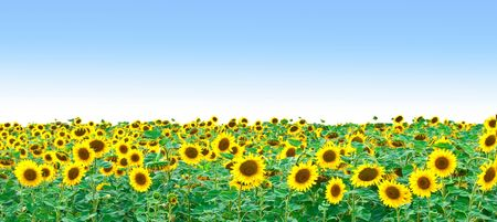 Bright field of sunflowers and the blue sky photo