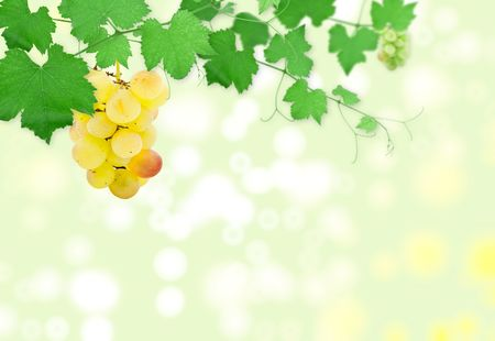 Cluster of ripe grapes on a green grapevine photo