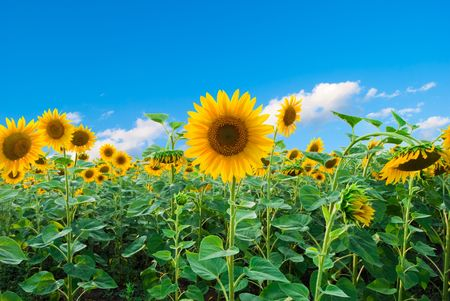 Bright field of sunflowers and the blue sky Stock Photo - 6846956