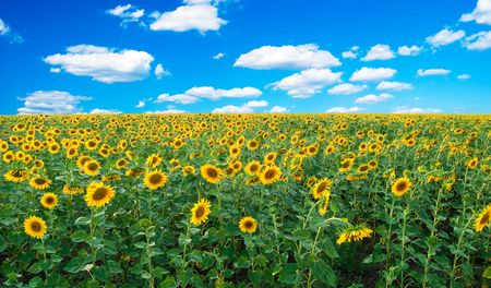 Bright field of sunflowers and the blue sky Stock Photo - 6846963