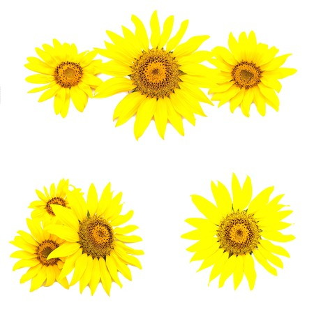 Set of various sunflowers isolated on a white background photo
