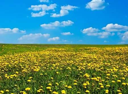 Field of blossoming dandelions under the blue sky Stock Photo - 6956520