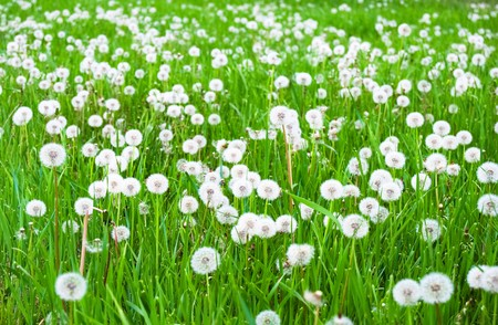 abstract seed: Green field with white fluffy dandelions