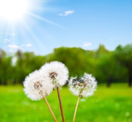 White fluffy dandelions against a green glade and the solar sky Stock Photo - 6956570
