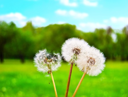 White fluffy dandelions against a green glade and the solar sky Stock Photo - 7033728