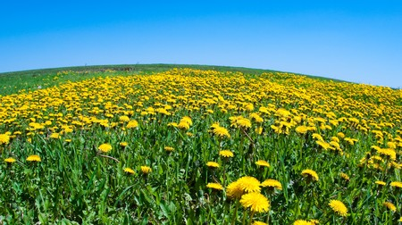 Field of blossoming dandelions under the blue sky photo