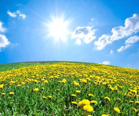 campo de flores: Campo de dientes de León florecientes bajo el cielo azul