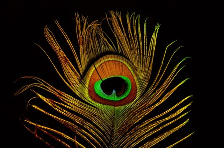 Bright feathers of a peacock close up photo