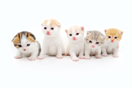 kotek: pięć niewiele kittens fluffy na białym tle  Zdjęcie Seryjne