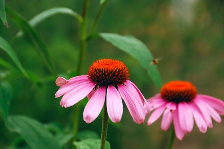 Two bright flowers of Echinacea photo