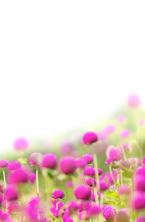 red clover: Meadow with gentle pink florets