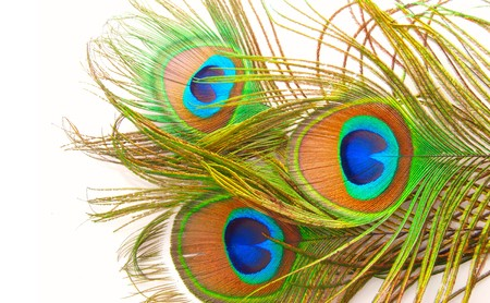 peacock feather:  Bright feathers of a peacock close up