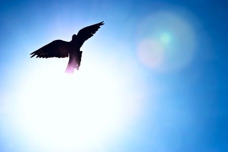 bird flying: Pigeon against the blue sky and a shining sun