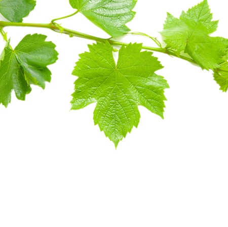 Beautiful background in the form of a young grapevine Stock Photo