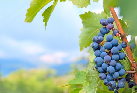 non urban scene: Cluster of grapes against a mountain landscape