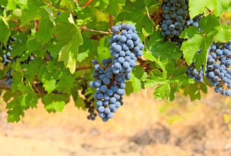 wine and grapes: Ripe clusters of grapes among green leaves