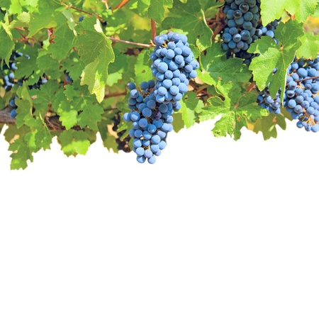 Ripe clusters of grapes among green leaves isolated on a white background photo