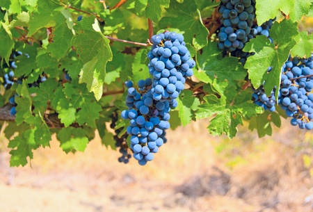 Ripe clusters of grapes among green leaves photo