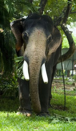 kochi: A domesticated Indian elephant eats in Kochi (Cochin), Kerala, India.
