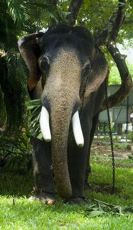 A domesticated Indian elephant eats in Kochi (Cochin), Kerala, India.