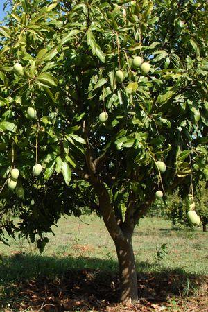 A mango tree with fruit Stock Photo