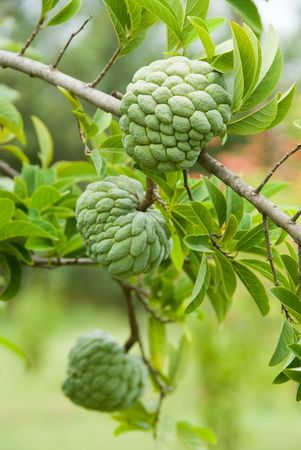 sweetsop: Custard apples growing on a tree Stock Photo