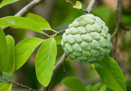 custard apple: Custard apples growing on a tree Stock Photo