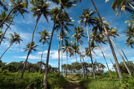 arboleda: Una arboleda de coco hermoso contra un cielo azul brillante Foto de archivo