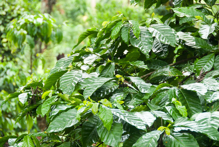 coffee crop: A coffee plantation in Coorg, India Stock Photo