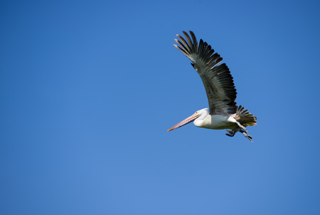 A pelican flying against a clear blue sky photo