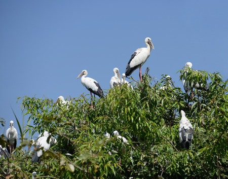oscitans: A nest colony of the Asian Openbill Stork on a tree in South Asia